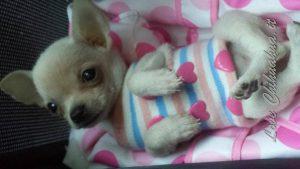 Acquisto o Adozione di un Chihuahua, Guida e Consigli. Guide e Consigli per Chihuahua Informazioni