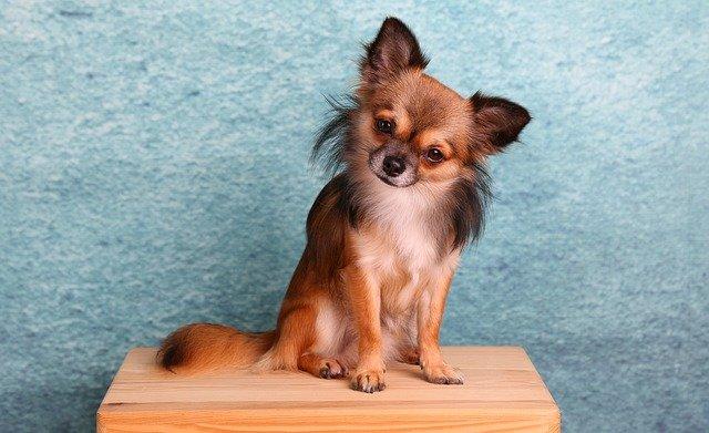 Carattere E Caratteristiche Del Chihuahua A Pelo Lungo