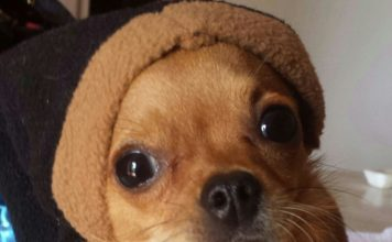 LoveChihuahua.it - Informazioni, curiosità, video, ricette e accessori per Chihuahua