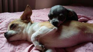 Salute del chihuahua, guida e consigli. Guide e Consigli per Chihuahua Informazioni