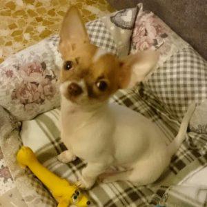 Carattere e Caratteristiche del Chihuahua a Pelo Corto Informazioni