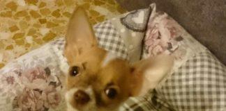 Di Tutto Chihuahua
