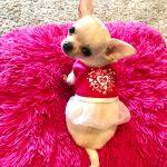 Chihuahua toy e Chihuahua messicano, facciamo chiarezza... Di Tutto