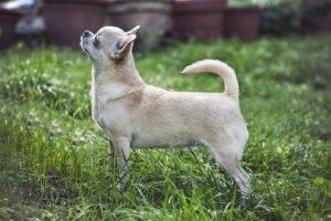 Carattere e caratteristiche del Chihuahua Informazioni