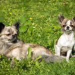 Guide e consigli sui Chihuahua