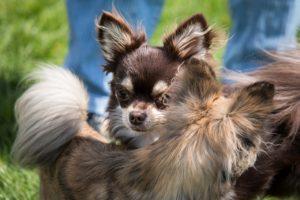 Accoppiamento del Chihuahua, Guida e consigli. Guide e Consigli per Chihuahua Informazioni