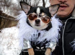 I Sei motivi per cui è veramente Sconsigliato e Pericoloso prendere un Chihuahua. Di Tutto