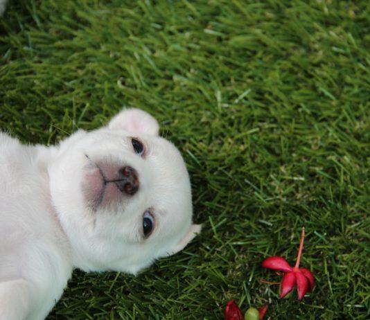 nomi per Chihuahua