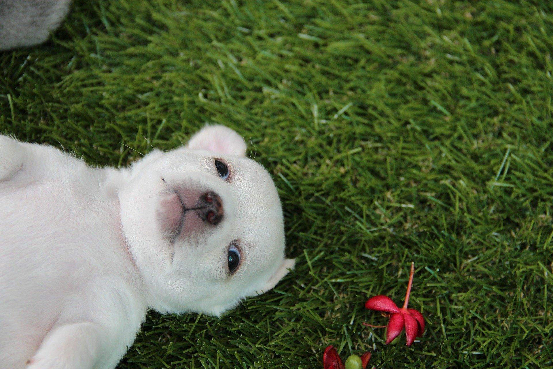 Nomi Per Cani Chihuahua Lovechihuahuait