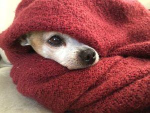 Bagno e Igiene del Chihuahua, Guida e Consigli Guide e Consigli per Chihuahua Informazioni