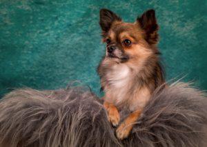 Carattere e Caratteristiche del Chihuahua a Pelo Lungo Informazioni