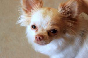 Tipologie e Standard del Chihuahua Informazioni