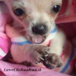 Foto di Chihuahua Di Tutto