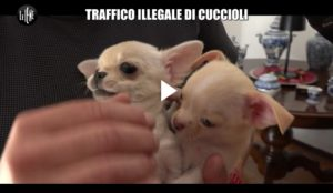 Servizio Iene: traffico illegale di cuccioli Di Tutto
