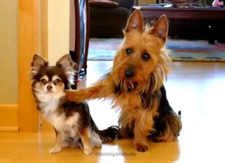 Video sui Chihuahua