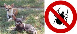 Prevenzione e Cura dai parassiti per Chihuahua, Guida e Consigli. Guide e Consigli per Chihuahua Informazioni