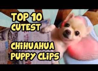 Video sui Chihuahua
