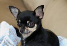 Ricette per cani di piccola taglia e Chihuahua