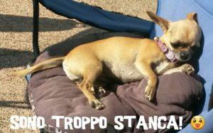 Portare il Chihuahua in spiaggia al mare, Guida e Consigli. Guide e Consigli per Chihuahua Informazioni
