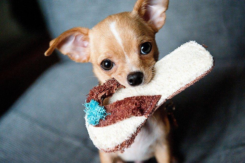Addestramento del Chihuahua, Guida e Consigli Guide e Consigli per Chihuahua Informazioni