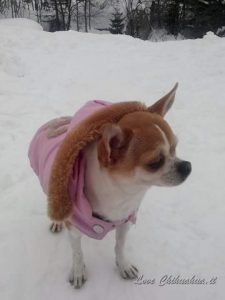Proteggere il chihuahua dal freddo, Guida e Consigli. Guide e Consigli per Chihuahua Informazioni