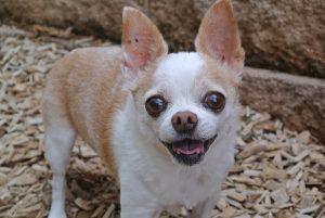 Cura dei denti del Chihuahua, Guida e Consigli. Guide e Consigli per Chihuahua Informazioni